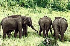 Indian Elephants Periyar National Park Tour Packages Thekkady Kerala