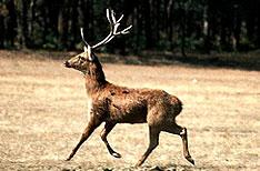 Swamp Deer Manas National Park Wildlife Tours Assam