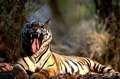 Tiger Corbett National Park Travel India